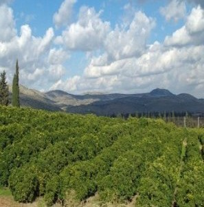Lemon_Orchard_in_the_Galilee__2_11-297x300